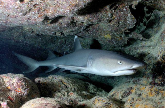 Whitetip shark Picture