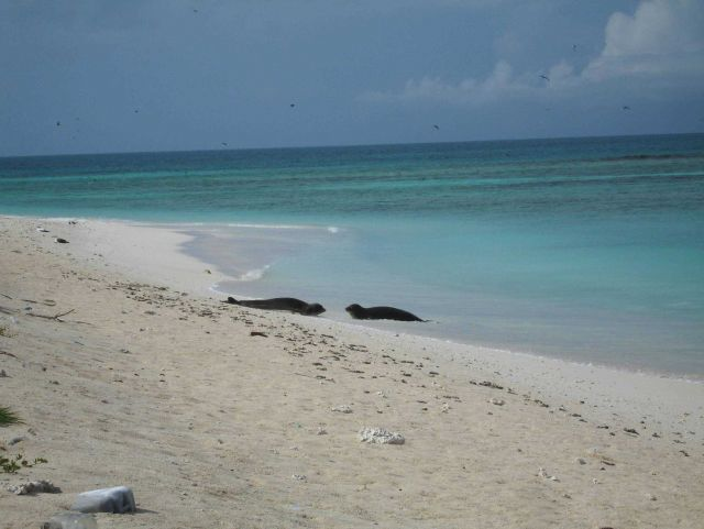 Monk seals on the beach. Picture