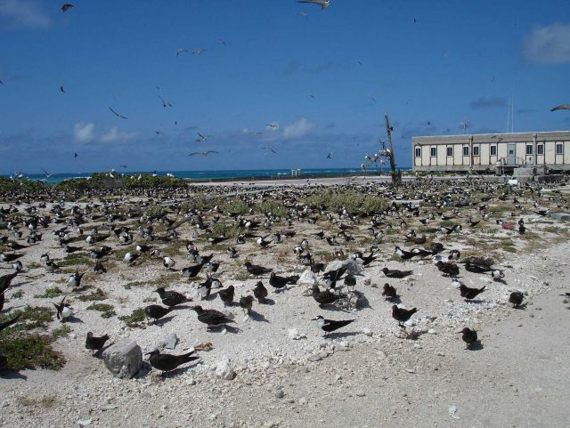 Terns, terns, terns, and a few other kinds of birds on Tern Island. Picture