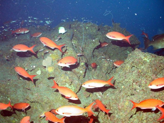 Creolefish (Paranthias furcifer) swimming around some deep reef habitat at 28 Fathom Bank. Picture