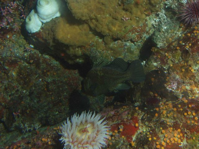 Unidentified tunicate, anemones, and rockfish at 25 meters depth Picture