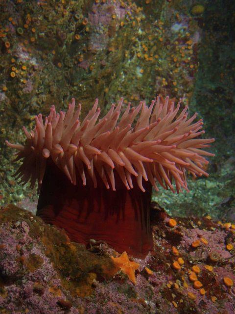 Fish eating anemone (Urticina piscivora) on boulder in rocky habitat. Picture
