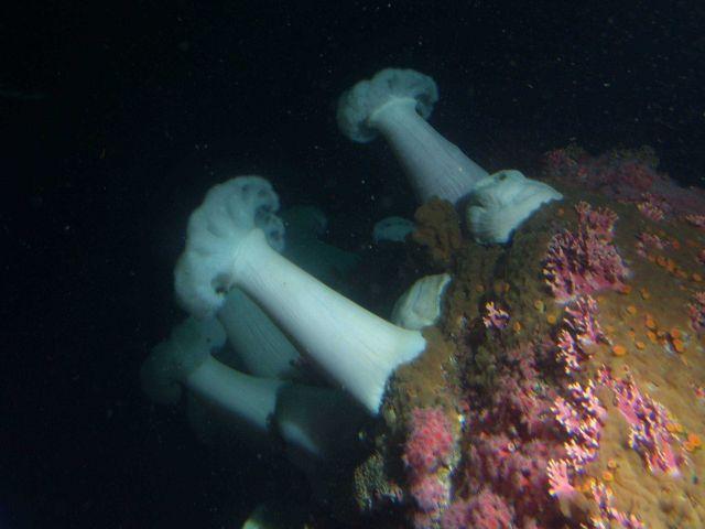 White plumed sea anemone (Metridium giganteum) at 30 meters depth. Picture