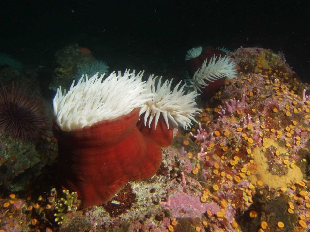 Fish eating anemone (Urticina piscivora) on boulder in rocky habitat. Picture