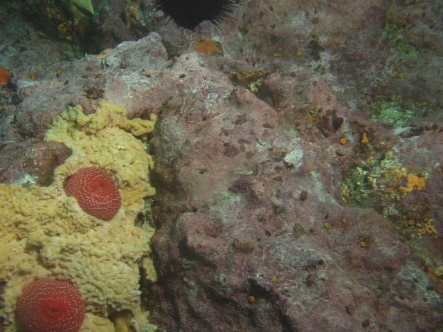 Unidentifed sea anemones and tunicates at 25 meters depth Picture