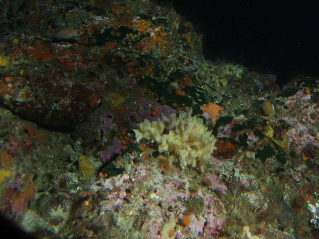 Yellow foliose sponge and pygmy rockfish (Sebastes wilsoni) on rocky reef, and unidentified green algae at 57 meters depth Picture