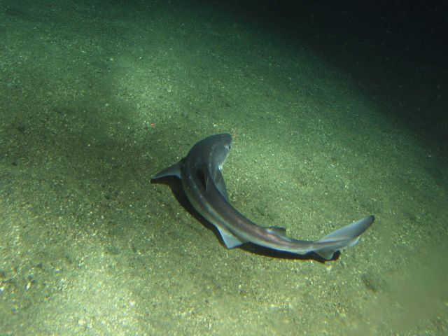 Spiny Dogfish shark (Squalus acanthias) on soft bottom habitat at 302 meters Picture