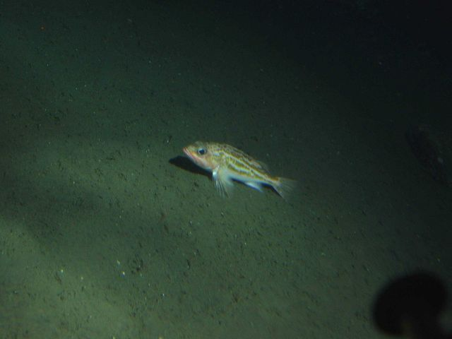 Greenstriped rockfish (Sebastes elongatus) in soft bottom habitat at 175 meters depth Picture