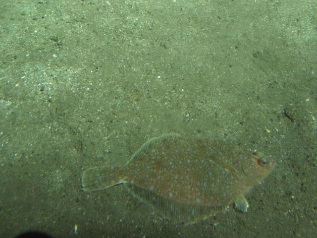 Sand sole (Psettichthys melanostictus) camouflaged on soft bottom habitat at 116 meters depth Picture