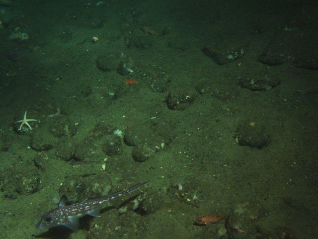 Spotted Ratfish (Hydrolagus colliei) and invertebrates in soft bottom habitat at 130 meters depth Picture