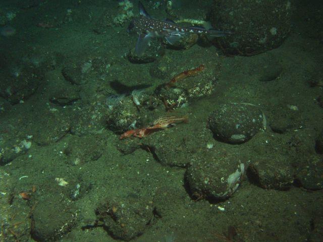 Greenstriped rockfish (Sebastes elongatus), ratfish (Hydrolagus colliei), and sea cucumber in cobble sand habitat at 130 meters depth Picture