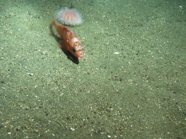 Stripetail rockfish (Sebastes saxicola) on soft bottom habitat with urchin close up at 302 meters Picture
