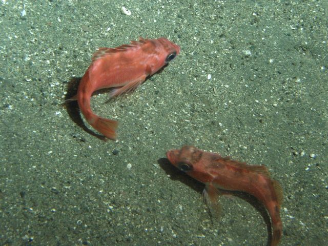 Stripetail rockfish (Sebastes saxicola) on soft bottom habitat at 302 meters Picture