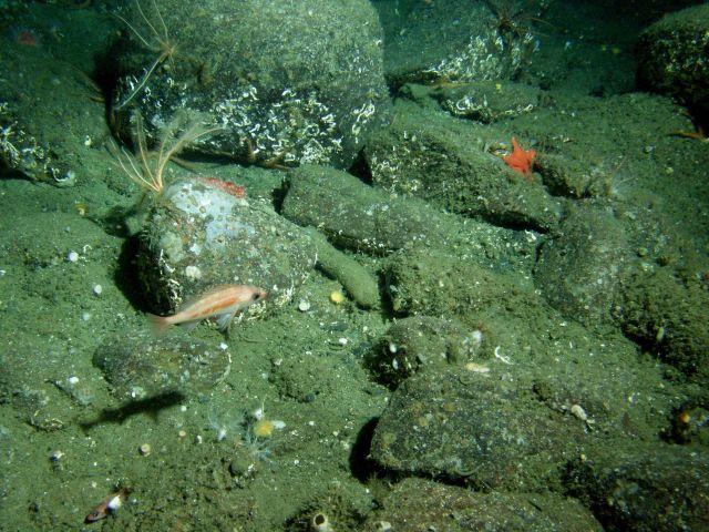 Pygmy rockfish ( Sebastes wilsoni) in boulder habitat at 115 meters depth Picture