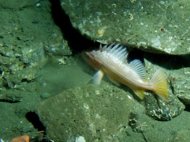 Greenspotted rockfish (Sebastes chlorostictus) close-up on rocky reef habitat at 175 meters depth Picture