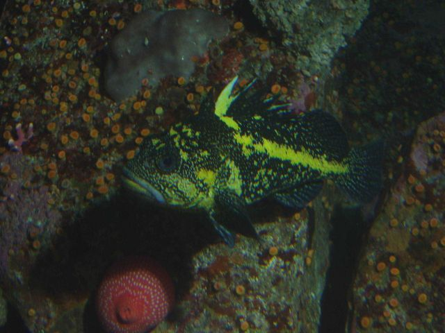 China rockfish (Sebastes nebulosus) in rocky reef habitat at 30 meters depth. Picture