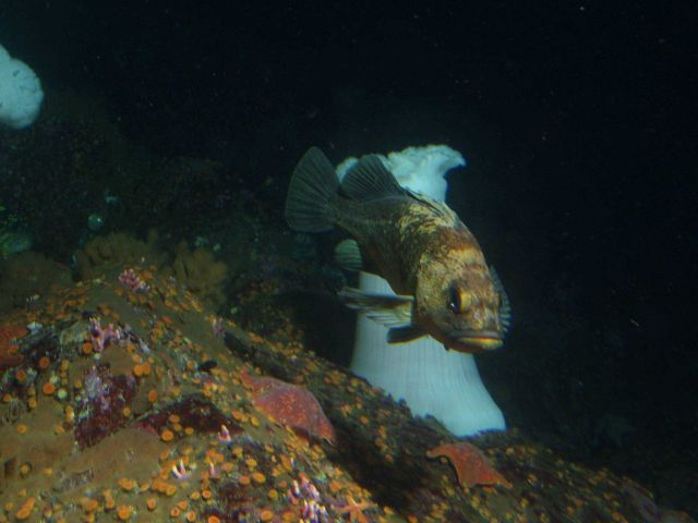 Quillback rockfish (Sebastes maliger) in front of white plumed sea anemone (Metridium giganteum) at 30 meters depth. Picture