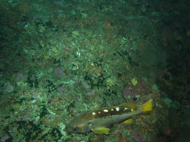 Yellowtail Rockfish (Sebastes flavidus) on rocky reef habitat at 95 meters depth Picture