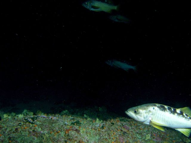 Yellowtail rockfish (Sebastes flavidus) school on rocky reef habitat at 95 meters depth Picture