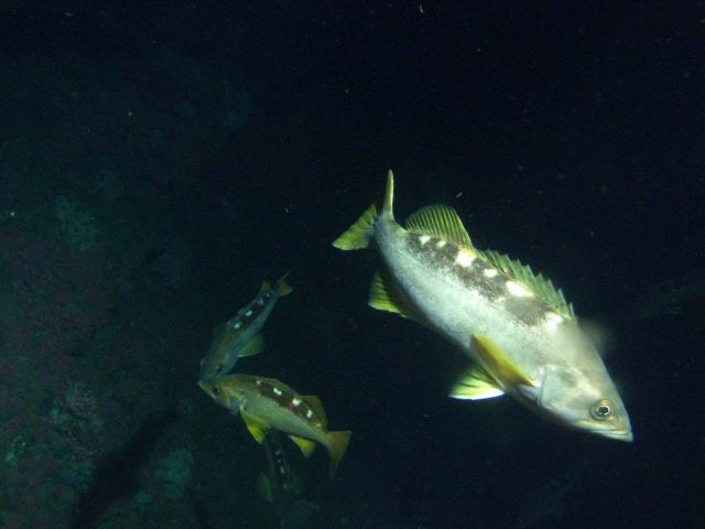 Yellowtail Rockfish (Sebastes flavidus) on rocky reef habitat at 65 meters depth Picture
