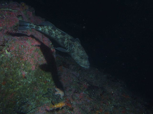 Lingcod (Ophiodon elongatus) on rocky reef habitat at 50 meters Picture