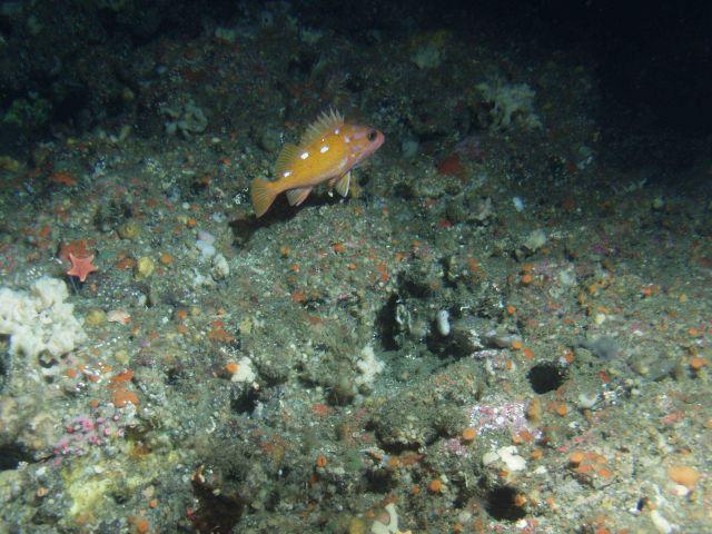 Rosy Rockfish (Sebastes rosaceus) close up in rocky reef habitat at 131 meters depth Picture