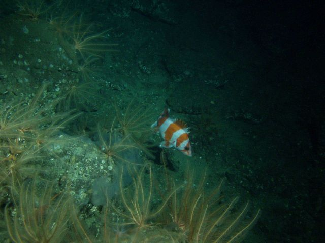 Flag rockfish on rocky outcropping at 116 meters depth Picture