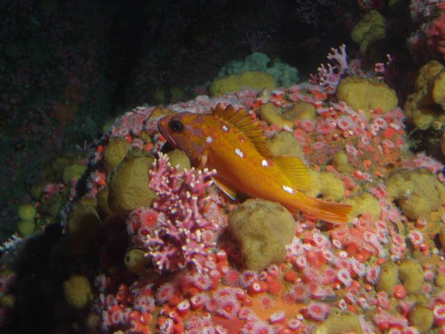 Rosy rockfish (Sebastes rosaceus) in rocky reef habitat at 90 meters depth Picture