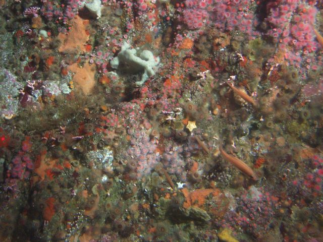 Foliose and crustose sponges, strawberry anemones, orange cup corals and other invertebrates cover the upper rocky reef habitat at 50 meters Picture