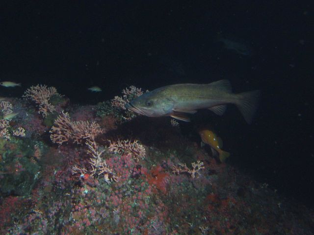 Bocaccio (Sebastes paucispinis) and rosy rockfish (Sebastes rosaceus) over covered rocky reef habitat at 50 meters Picture