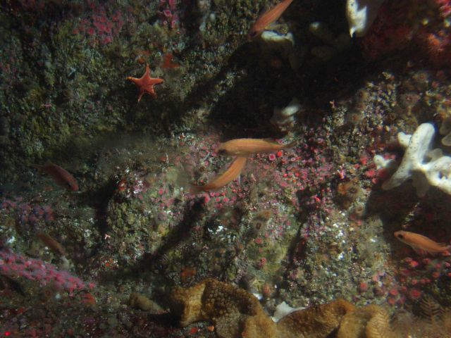 Juvenile Rockfish on invertebrate covered rocky reef at 50 meters Picture