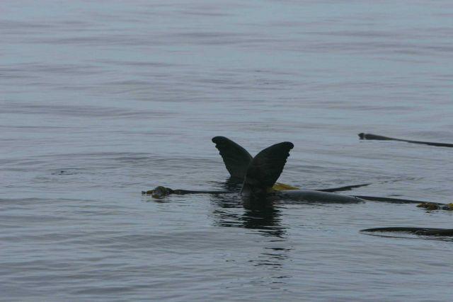 California Sea Lions (Zalophus californianus) swimming on surface around bull kelp raft. Picture