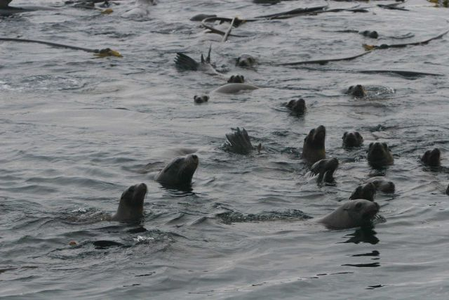 California Sea Lions (Zalophus californianus) swimming on surface around bull kelp raft. Picture