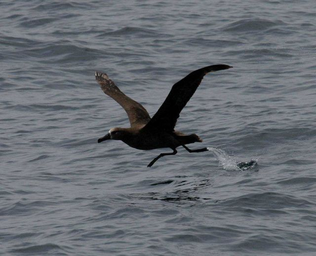 Black-footed albatross lifting off from water Picture