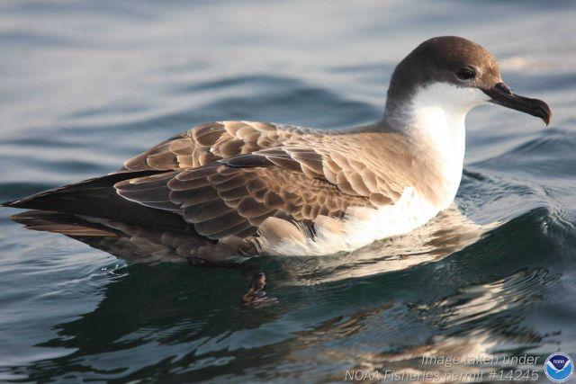 Duck bird wading in water Picture