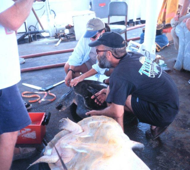 NMFS scientists studying and tagging marine turtle aboard NOAA Ship DAVID STARR JORDAN. Picture