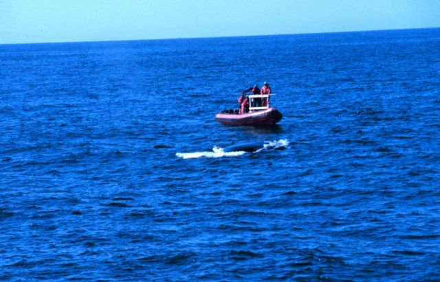 Pursuing whale to emplace dart for tissue sampling Picture