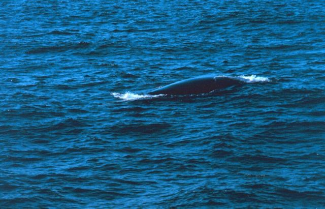 Back of right whale as seen from small boat off the DELAWARE II. Picture