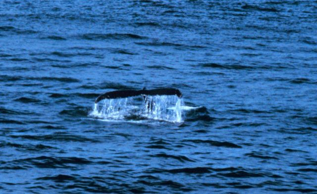Tail of a right whale sounding. Picture