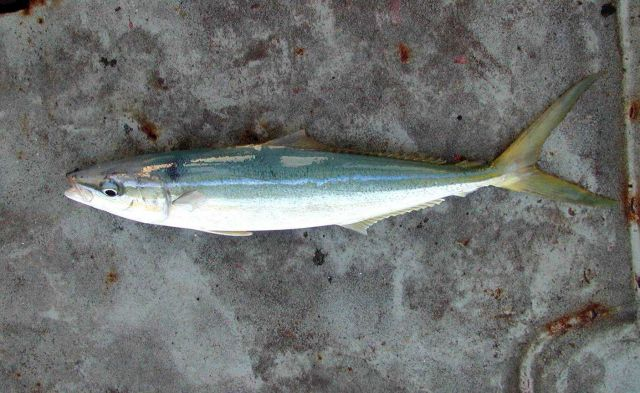 A rainbow runner caught at Clipperton Island during STAR 2000. Picture