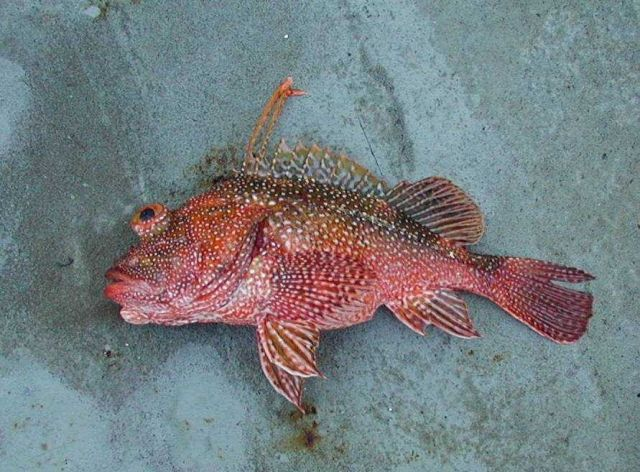 A rockfish caught at Clipperton Island during STAR 2000. Picture