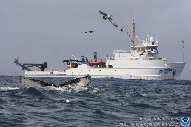 NOAA Ship NANCY FOSTER with humpback whale in foreground. Picture