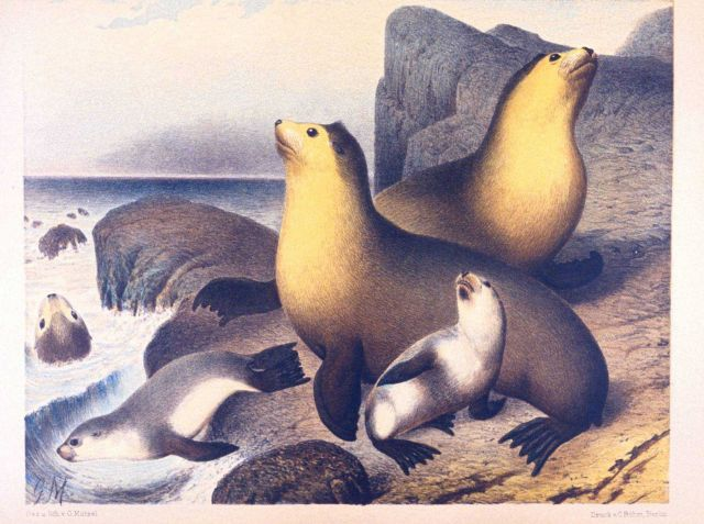 Water color of Arctocephalus gazella, the southern fur seal. Picture