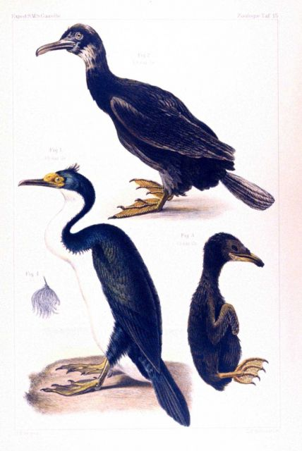 Water color of cormorants seen during the voyage of the GAZELLE, including an Picture