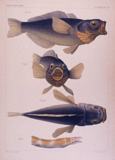 Drawings of fish captured during the GAZELLE expedition. Picture