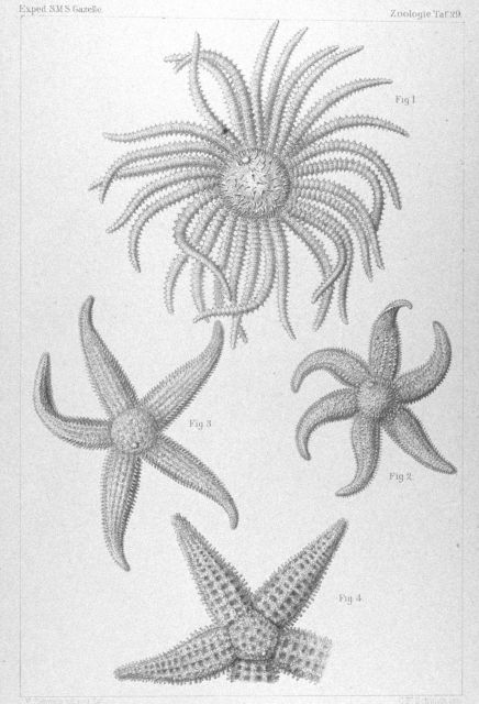 Drawings of starfish captured during the GAZELLE expedition. Picture