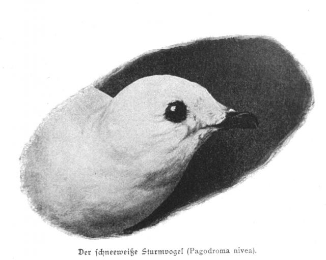 The head of a snow petrel, Pagodroma nivea Picture