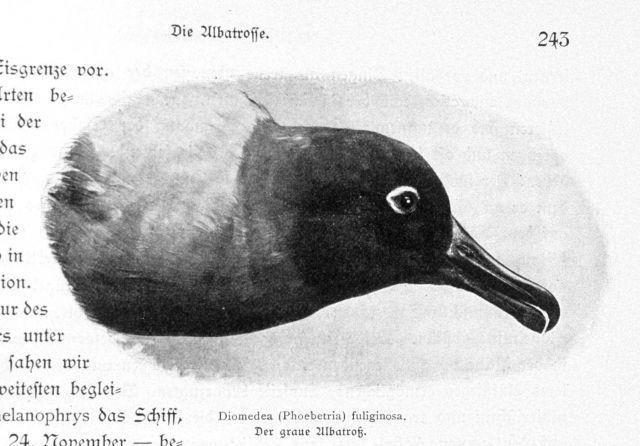 Diomedea (Phoebetria) fuliginosa Picture