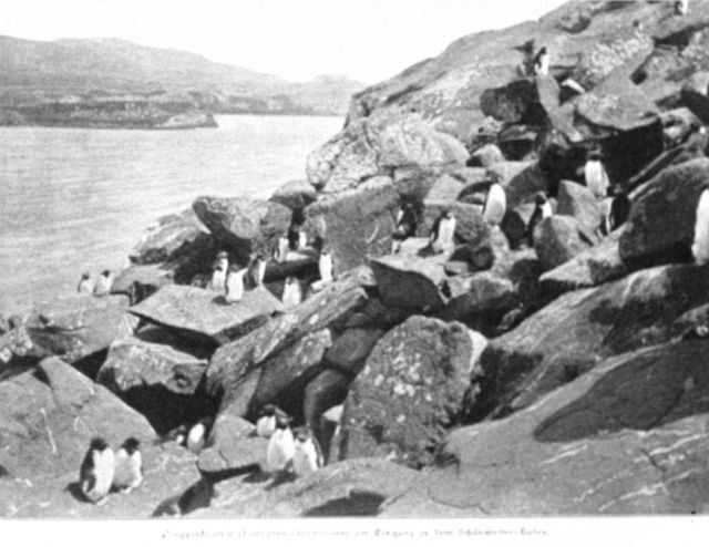Penguin colony at the entrance to Fairweather Harbor, Kerguelen Island Picture
