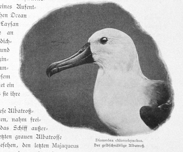 Yellow-nosed albatross, Diomedea chlororhynchus Picture